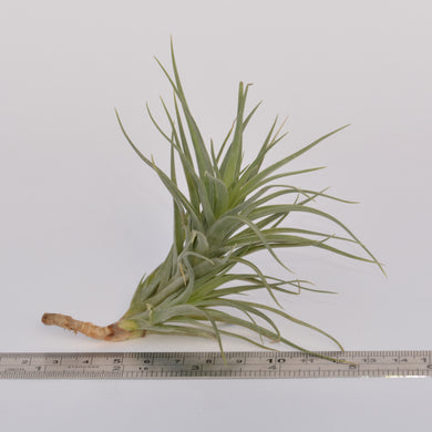 Tillandsia tenuifolia (light green form) - Andy's Air Plants
