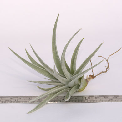 Tillandsia 'White Star' (ixioides x recurvifolia) - Andy's Air Plants
