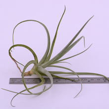 Load image into Gallery viewer, Tillandsia humilis - Andy's Air Plants