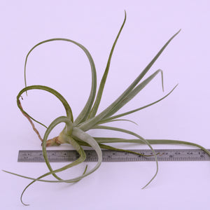 Tillandsia humilis - Andy's Air Plants