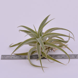 Tillandsia cacticola - Andy's Air Plants