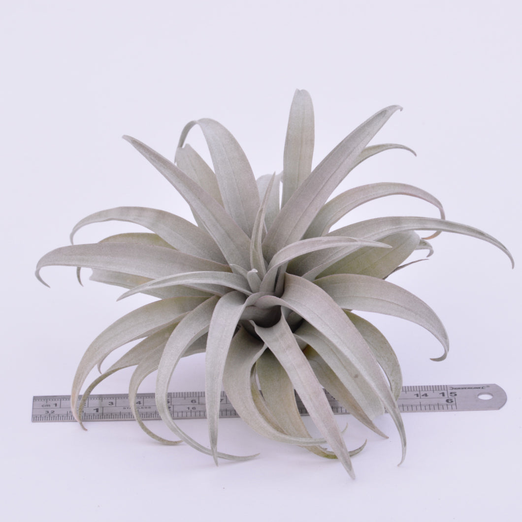 Tillandsia capitata 'Yellow' - Andy's Air Plants