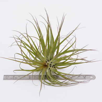 Tillandsia stricta Rubra - Andy's Air Plants