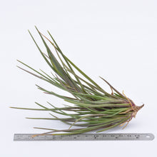 Load image into Gallery viewer, Tillandsia albertiana - Andy's Air Plants