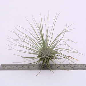 Tillandsia argentea - Andy's Air Plants