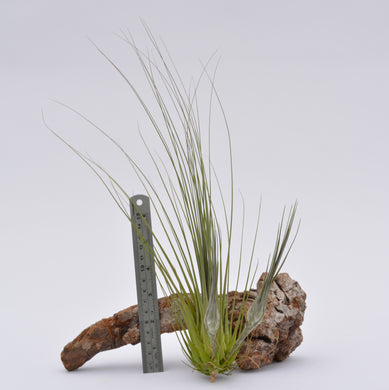 Tillandsia disticha - Andy's Air Plants