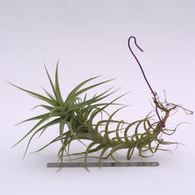 Load image into Gallery viewer, Tillandsia bergeri - Andy's Air Plants