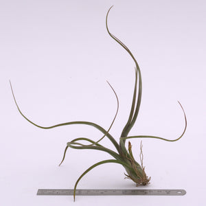 Tillandsia pseudobaileyi Airplant for Sale - Andy's Air Plants