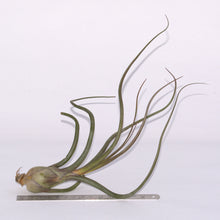 Load image into Gallery viewer, Tillandsia pseudobaileyi Airplant for Sale - Andy's Air Plants