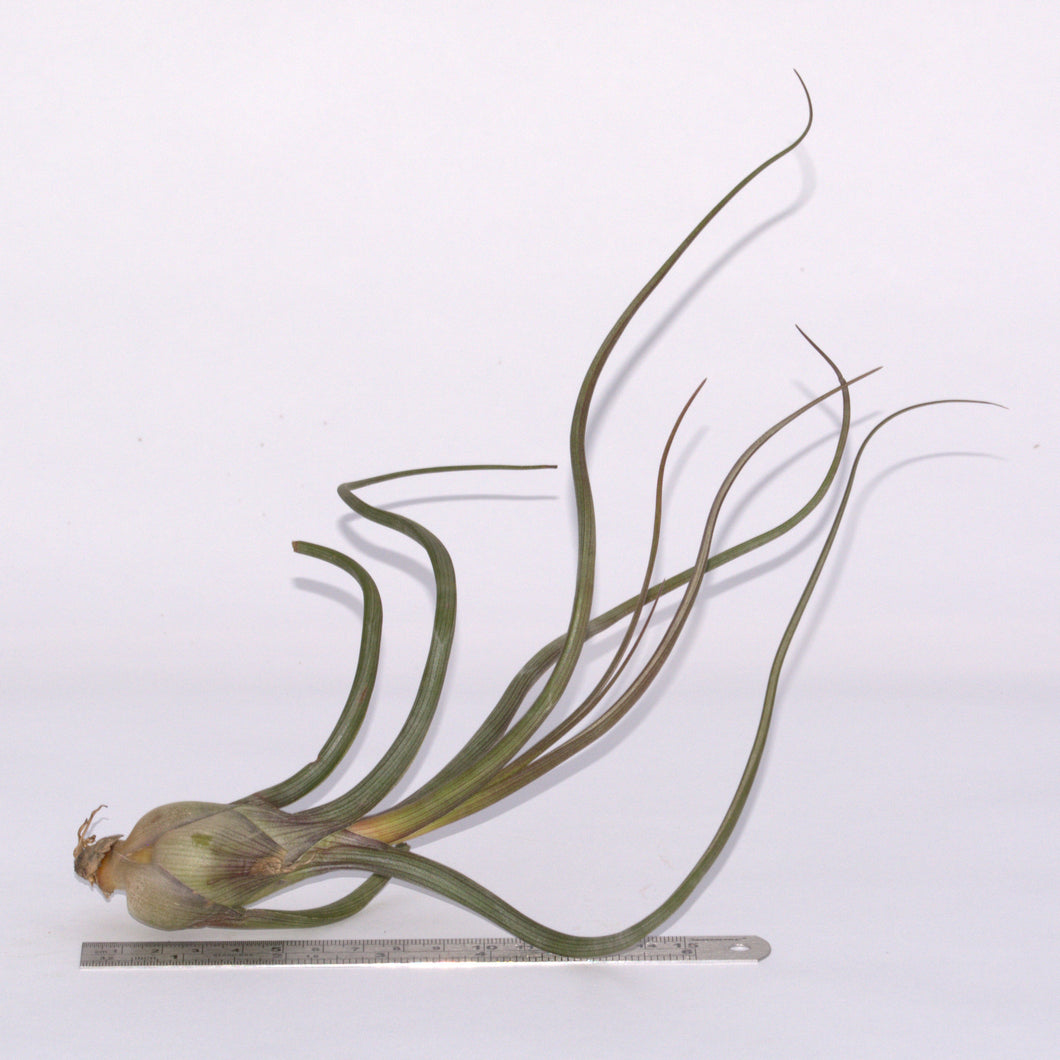 Tillandsia pseudobaileyi - Andy's Air Plants
