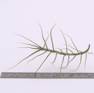 Tillandsia caerulea - Andy's Air Plants