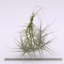 Load image into Gallery viewer, Tillandsia caerulea - Andy's Air Plants
