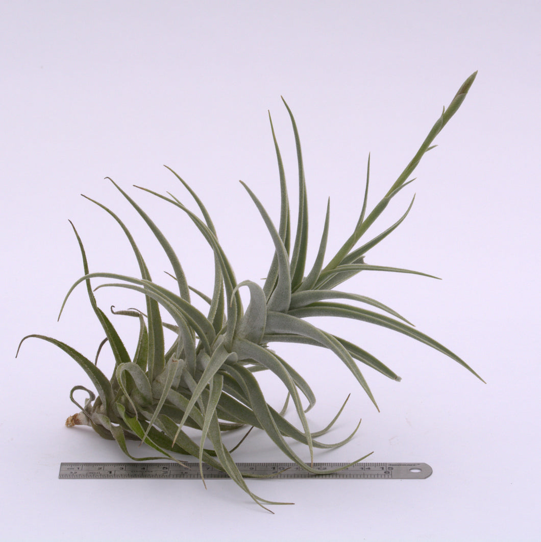 Tillandsia purpurea XL In bud - Andy's Air Plants