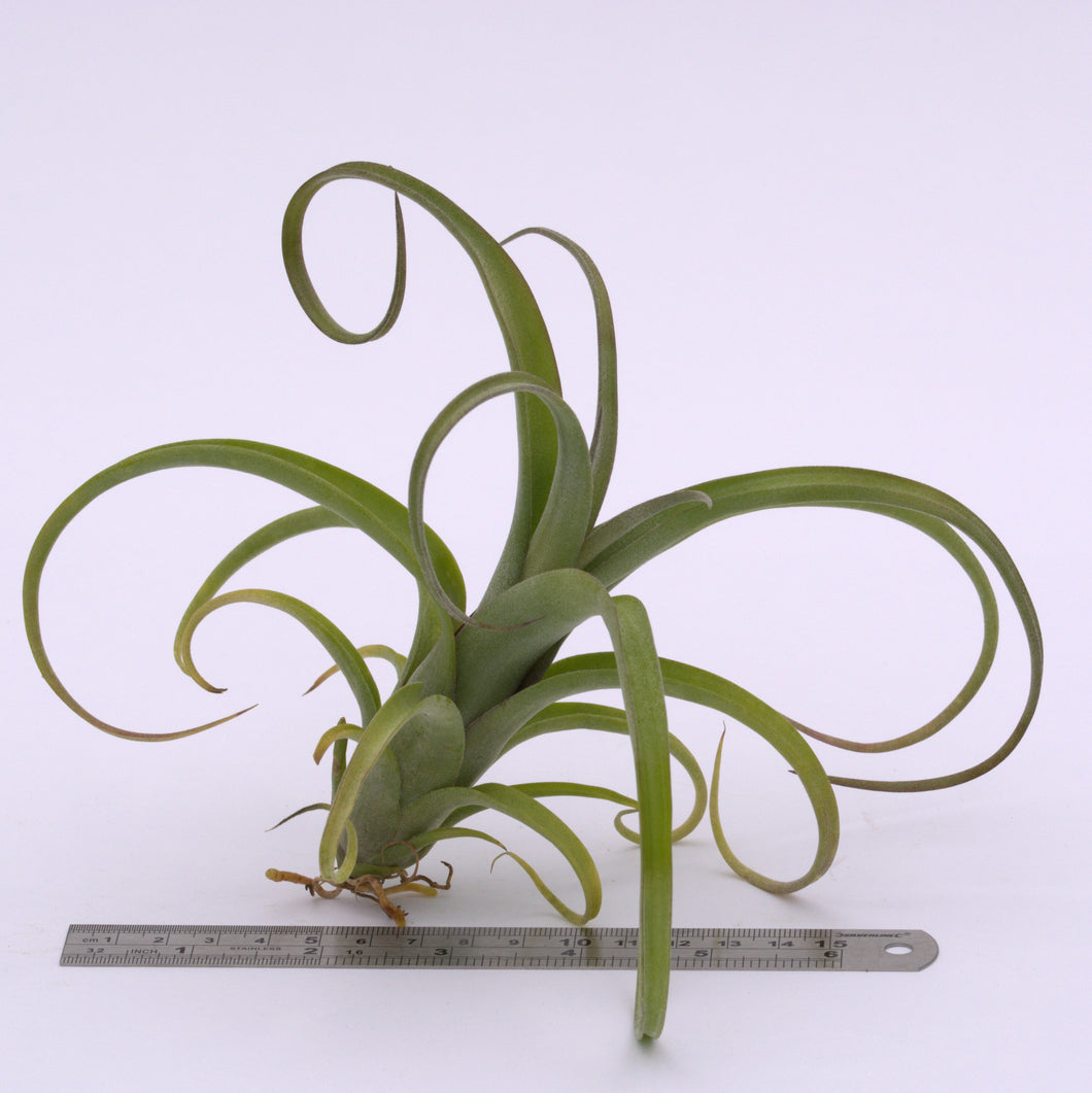 Tillandsia 'Curly Slim' (intermedia x streptophylla) - Andy's Air Plants