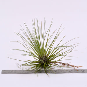 Tillandsia filifolia - Andy's Air Plants