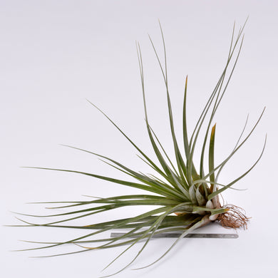 Tillandsia fasciculata - Andy's Air Plants