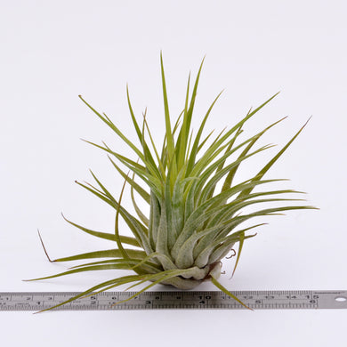 Tillandsia x kolbii - Andy's Air Plants