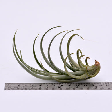 Tillandsia lorentziana - Andy's Air Plants