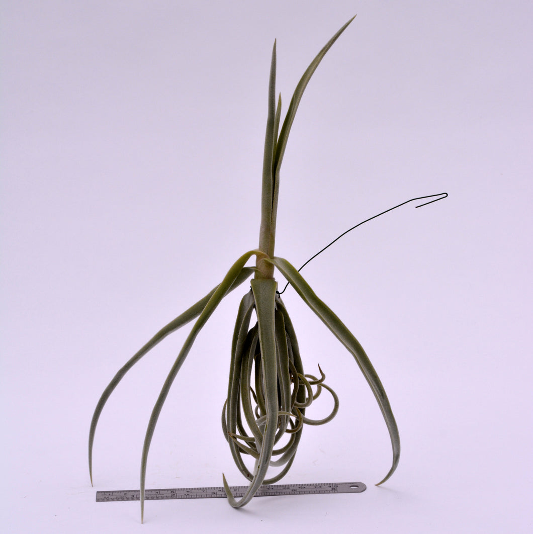 Tillandsia duratii - Andy's Air Plants