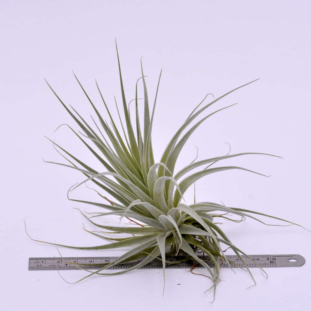 Tillandsia gardneri - Andy's Air Plants