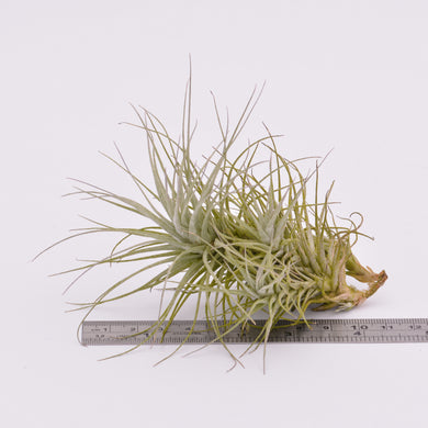 Tillandsia heteromorpha - Andy's Air Plants