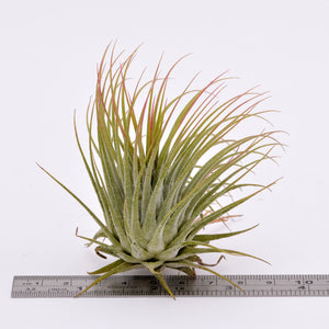 Tillandsia ionantha v. Ionantha - Andy's Air Plants