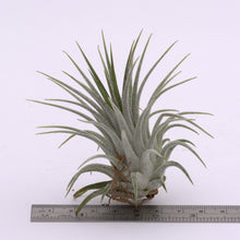 Load image into Gallery viewer, Tillandsia ionantha 'Silver' - Andy's Air Plants