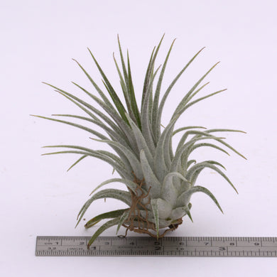Tillandsia ionantha 'Silver' - Andy's Air Plants