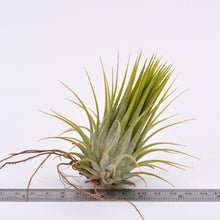 Load image into Gallery viewer, Tillandsia ionantha v. Ionantha - Andy's Air Plants