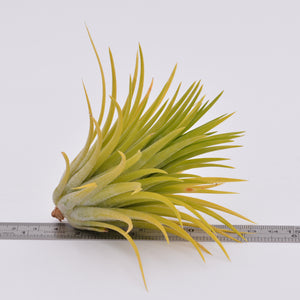 Tillandsia ionantha 'Druid' - Andy's Air Plants