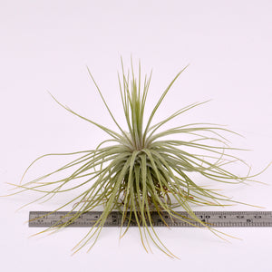 Tillandsia magnusiana - Andy's Air Plants