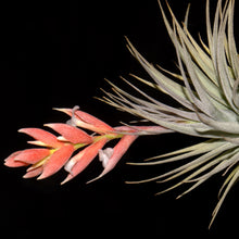 Load image into Gallery viewer, Tillandsia recurvifolia var. subsecundifolia - Andy's Air Plants