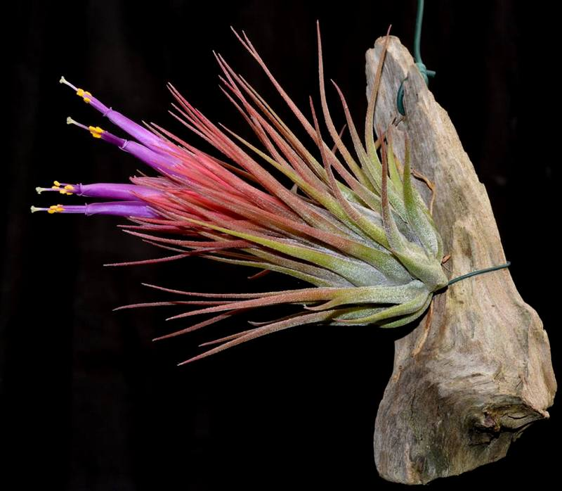 Tillandsia x kolbii Mounted on drift wood - Andy's Air Plants
