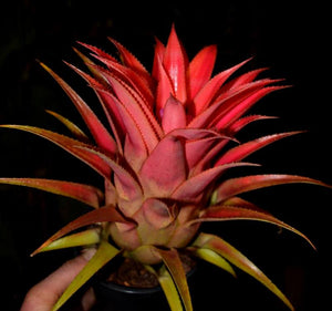 Aechmea recurvata - Andy's Air Plants