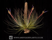Load image into Gallery viewer, Tillandsia juncea - Andy's Air Plants