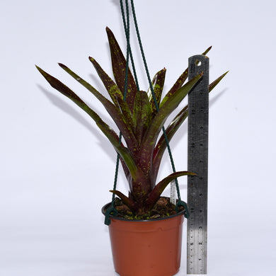 Neoregelia 'Walking Tall' x pauciflora
