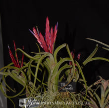 Load image into Gallery viewer, Tillandsia caput-medusae Mounted on drift wood - Andy's Air Plants