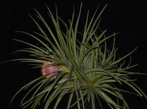 Ochagavia carnea - Andy's Air Plants