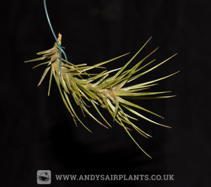 Tillandsia tenuifolia var. minima - Andy's Air Plants
