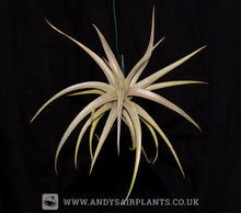 Load image into Gallery viewer, Tillandsia ixioides - Andy's Air Plants