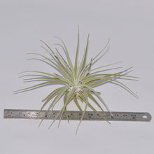 Load image into Gallery viewer, Tillandsia velickiana - Andy's Air Plants