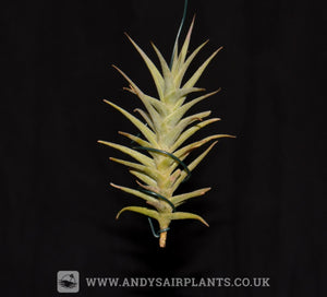 Tillandsia purpurea 'Shooting Star' - Andy's Air Plants