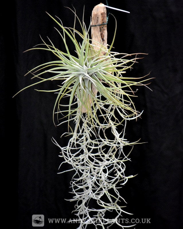 Tillandsia velickiana mounted on drift wood with Spanish Moss - Andy's Air Plants