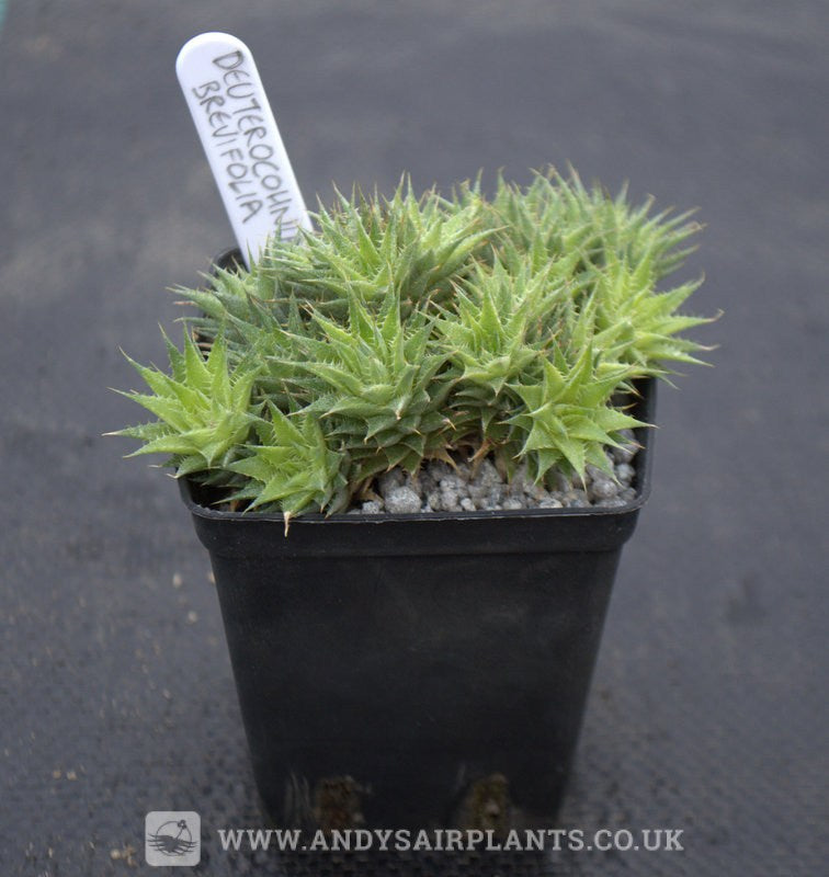 Deuterocohnia brevifolia - Andy's Air Plants