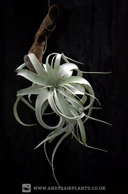 Tillandsia xerographica mounted on drift wood - Andy's Air Plants