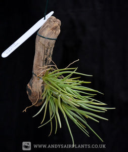 Tillandsia albertiana mounted on drift wood - Andy's Air Plants
