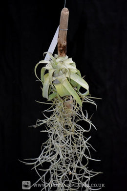 Tillandsia streptophylla Mounted on drift wood - Andy's Air Plants