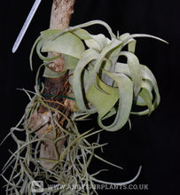 Load image into Gallery viewer, Tillandsia streptophylla Mounted on drift wood - Andy's Air Plants