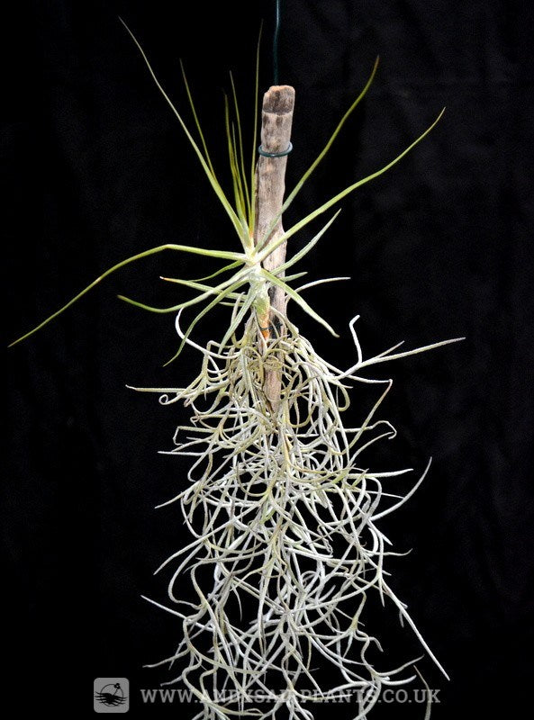 Tillandsia schiedeana on drift wood with Spanish Moss - Andy's Air Plants