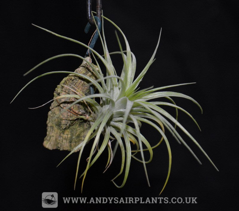 Tillandsia stricta Mounted - Andy's Air Plants